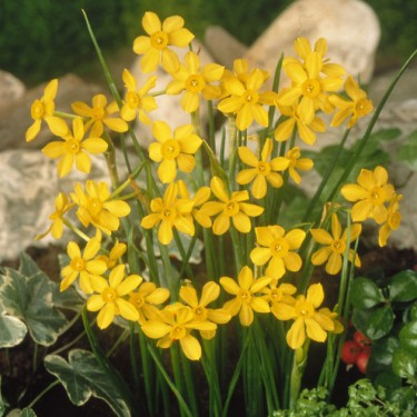 Short n Sweet Daffodil Collection