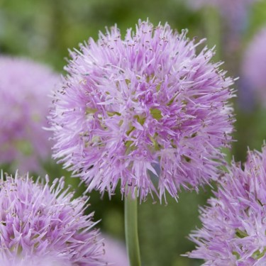 Awesome Allium Collection