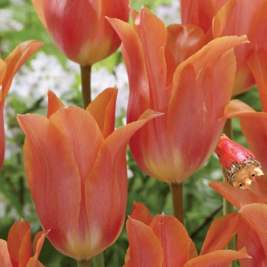 Big Brother Giant Beauty Tulip
