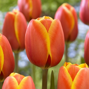 Dafeng Giant Beauty Tulip