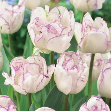 Double Shirley Double Late Tulip