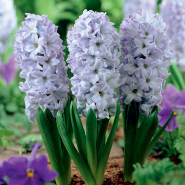 Blue Ice Regular Hyacinth