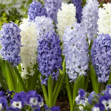 Sky Blue Hyacinth Mix