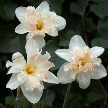 Palmares Collector Series Narcissi