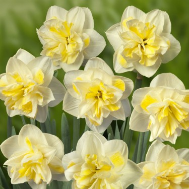 Double Star Double Narcissi