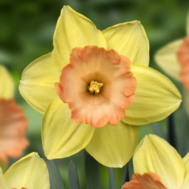 Tickled Pinkeen Collector Series Narcissi