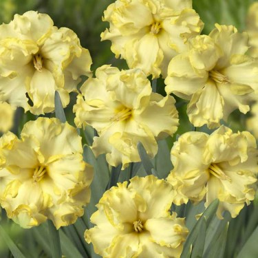 Sunny Side Up Collector Series Narcissi