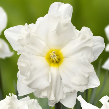 Chantez Collector Series Narcissi