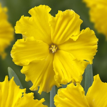 Gold Disc Collector Series Narcissi