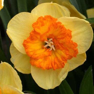 Berlin Collector Series Narcissi
