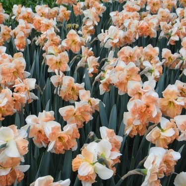Apple Pie Collector Series Narcissi