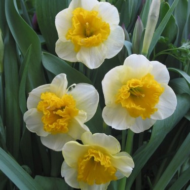 Curly Collector Series Narcissi
