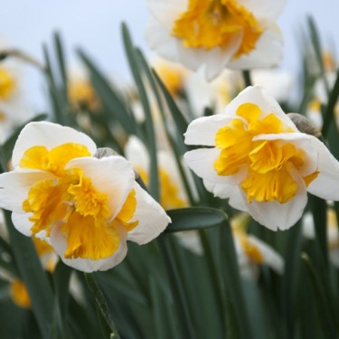 Love Call Collector Series Narcissi
