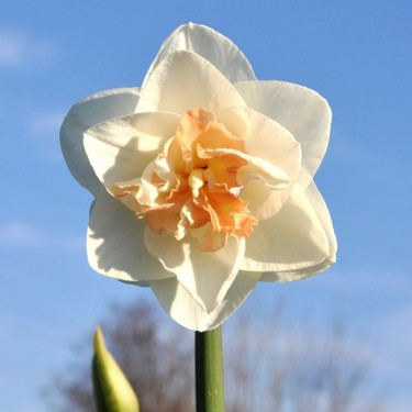 Tender Beauty Collector Series Narcissi