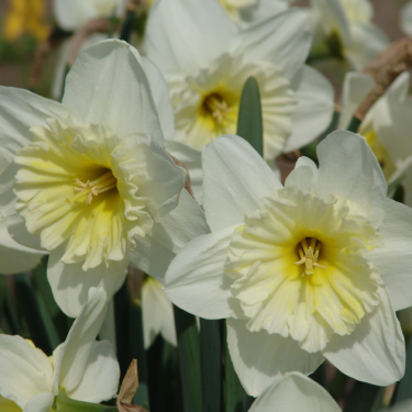 Ice Follies Cupped Narcissi