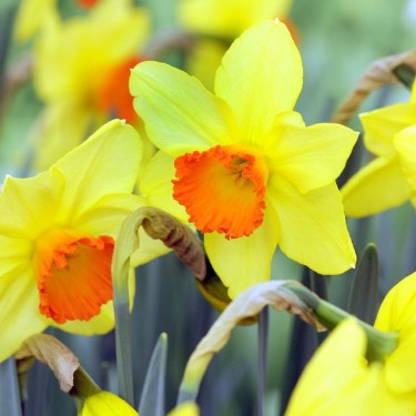 Loveday Cupped Narcissi