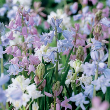 Spanish Bluebell Mix
