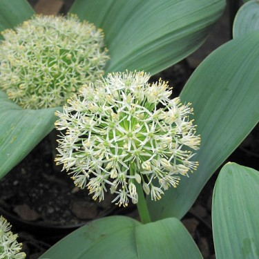 Allium 'Ivory Queen'