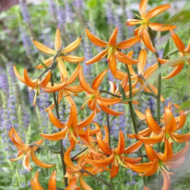 Orange Marmalade Novelty Lily