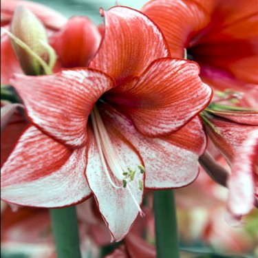 Charisma Dutch Amaryllis