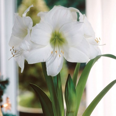 Dancer Christmas Blooming Amaryllis
