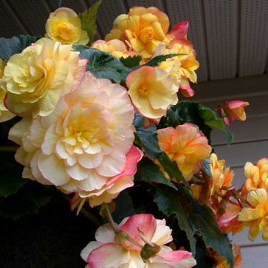 Picotee Yellow Novelty Begonia