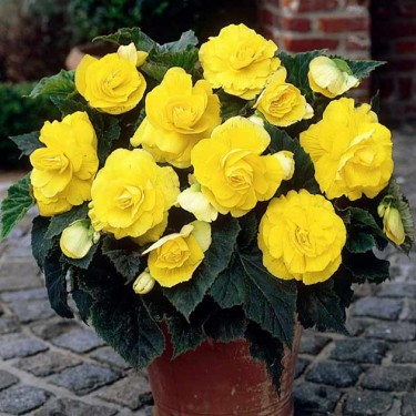 Yellow Double Camellia Begonia