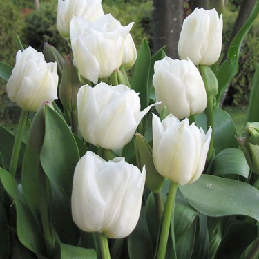 Mondial Double Early Tulip