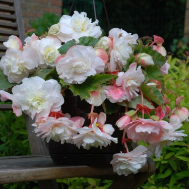 Angelique Novelty Begonia