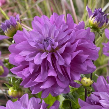 Bluetiful Decorative Dahlia