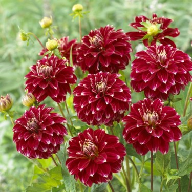 Red Rock Decorative Dahlia