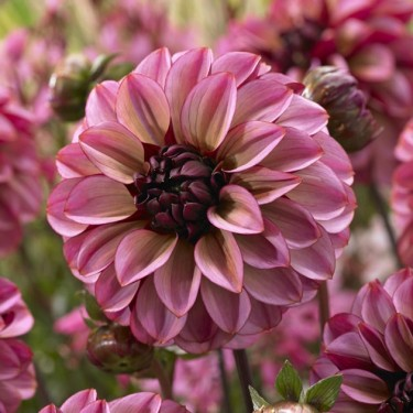 Senior's Hope Decorative Dahlia