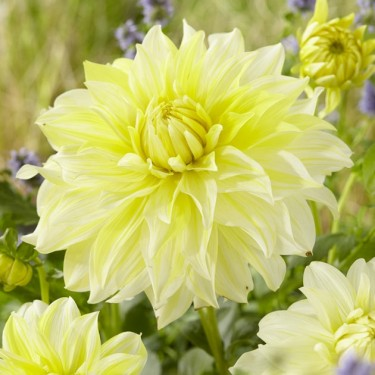 La Luna Giant Dinnerplate Dahlia