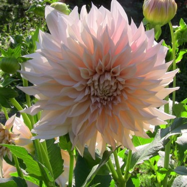 Cafe au Lait Giant Dinnerplate Dahlia