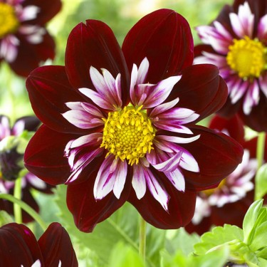 Night Butterfly Novelty Dahlia