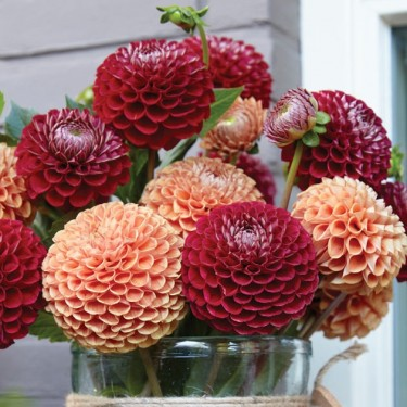 Pennies From Heaven Novelty Dahlia