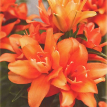 Tiny Double You Asiatic Patio Lily