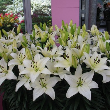 Tiny Nanny Asiatic Patio Lily