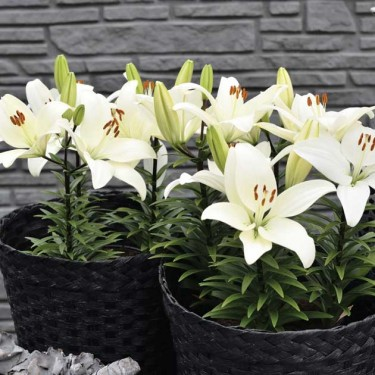 Tiny Crystal Asiatic Patio Lily