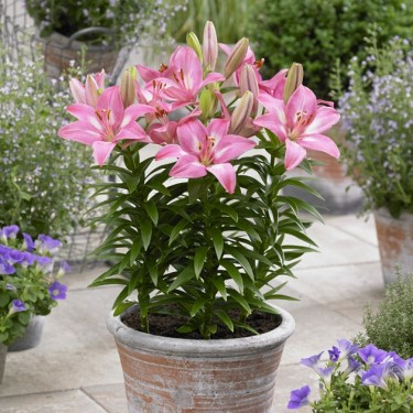 Rozalynn Asiatic Patio Lily