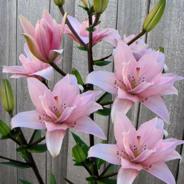 Elodie Asiatic Kiss Lily