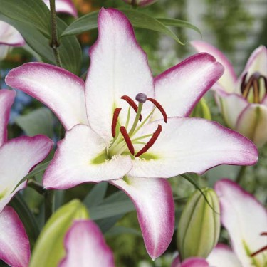 Hotline Oriental Lily