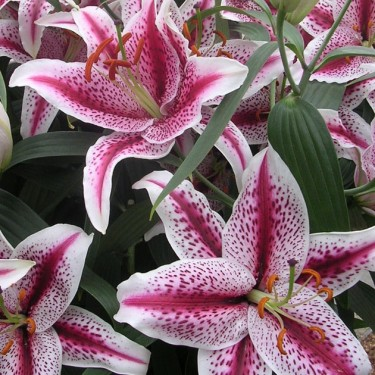Tiger Woods Oriental Lily