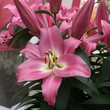 Tabledance Oriental Trumpet Lily