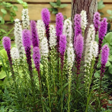 Liatris Mix