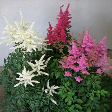 Shady Ladies Astilbe Mix