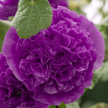 Alcea rosea 'Chater's Double Purple'