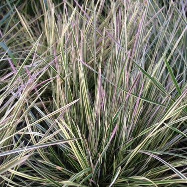 Deschampsia cespitosa 'Northern Lights'