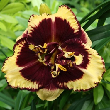 Hemerocallis 'Tiger Blood'
