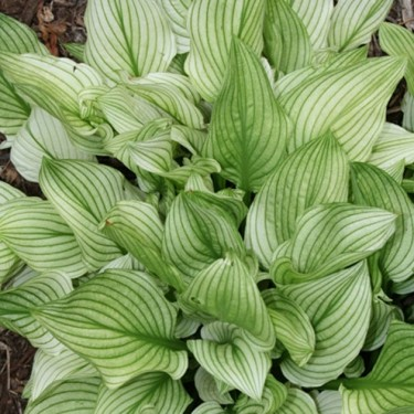 Hosta 'Zebra Stripes'